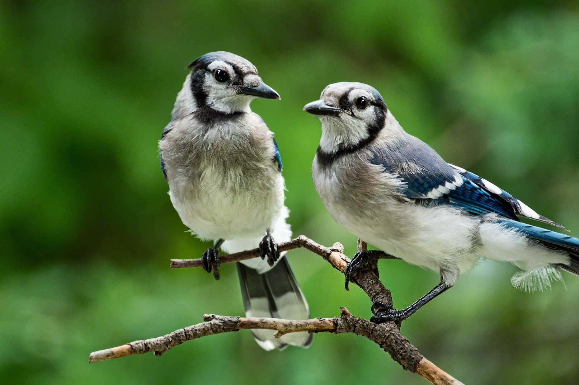 FritzImages | Travel and Outdoor Digital Images | image name = FI 20140730 388 NY Summer Birds Blue Jays