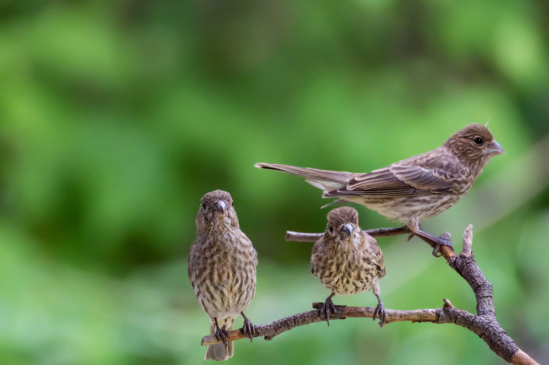 FritzImages | Travel and Outdoor Digital Images | image name = FI 20140730 777 NY Summer Birds Sparrows
