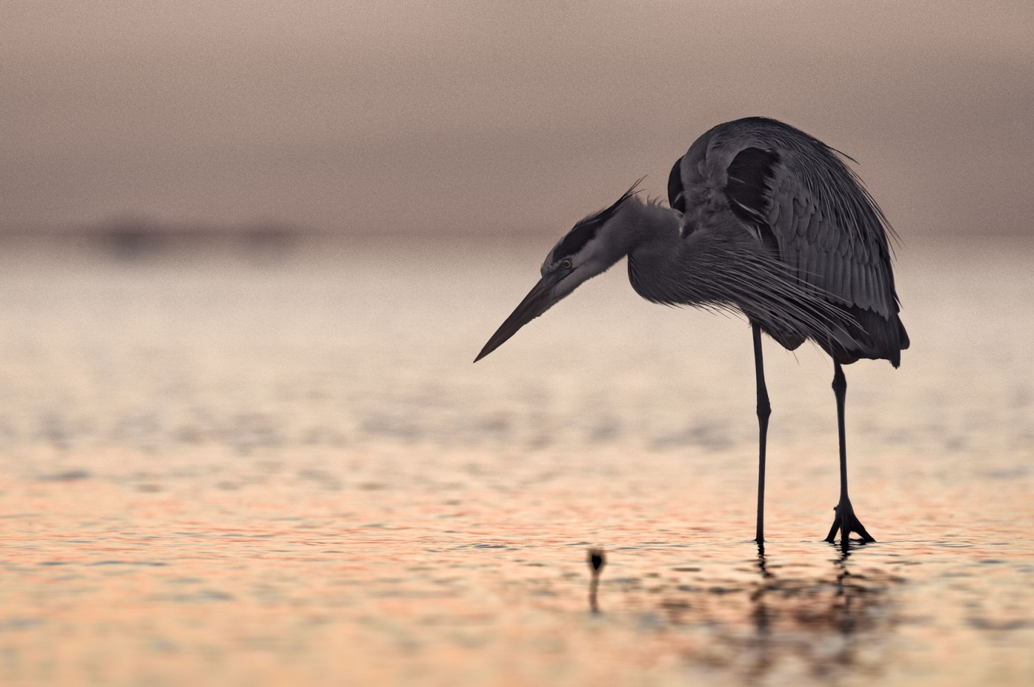 FritzImages   Travel and Outdoor Digital Images   image name = FIF FMA Desoto Grey Heron web1860 iop 1500x997
