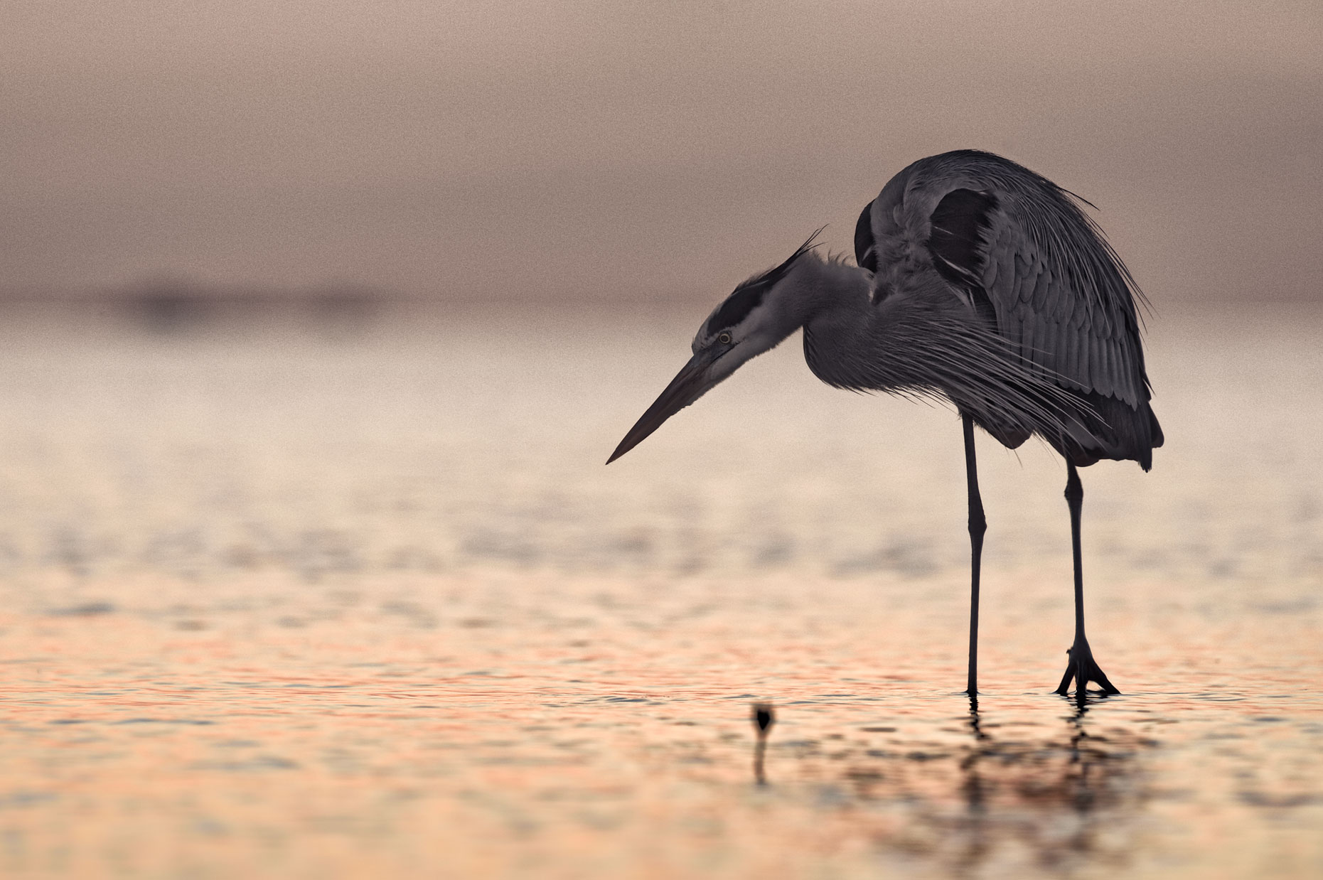 FritzImages   Travel and Outdoor Digital Images   image name = FIF FMA Desoto Grey Heron web1860 iop