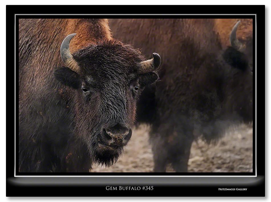 FritzImages | First Look Nikon SB 910 | image name = Gem Buffalo 345