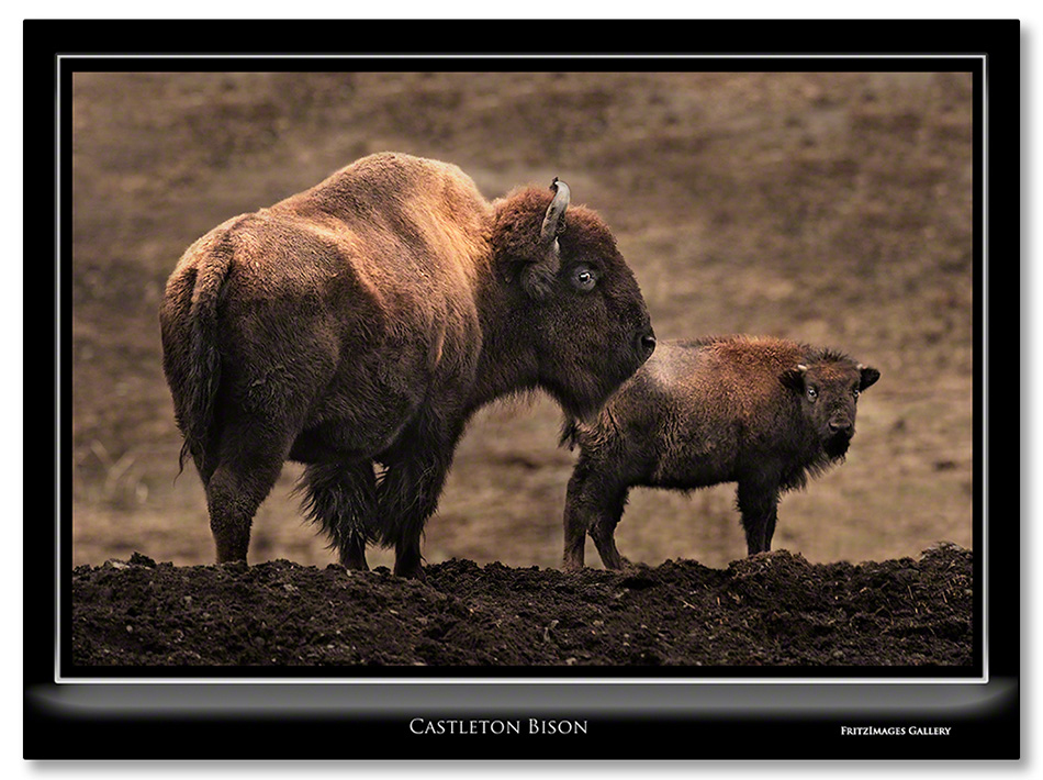 FritzImages   Whoville Sunset Tree   image name = Rs Castleton Bison