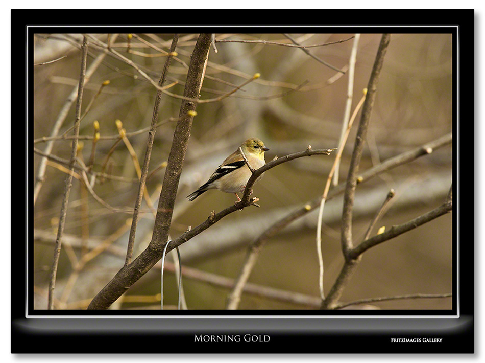 FritzImages | Larus smithsonianus | image name = 20120128 0033 NY Feeder Birds as Smart Object 1 copy