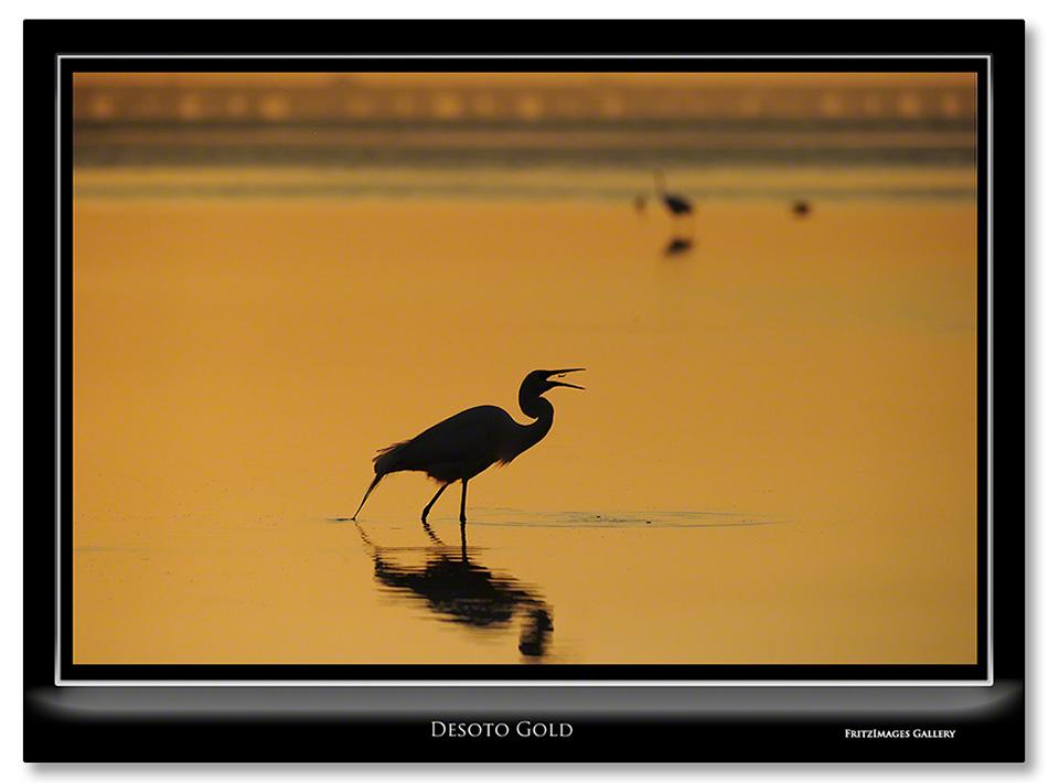 FritzImages | Larus smithsonianus | image name = Desoto Gold