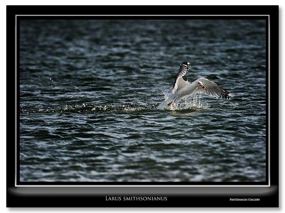 FritzImages | Larus smithsonianus | image name = Larus smithsonianus