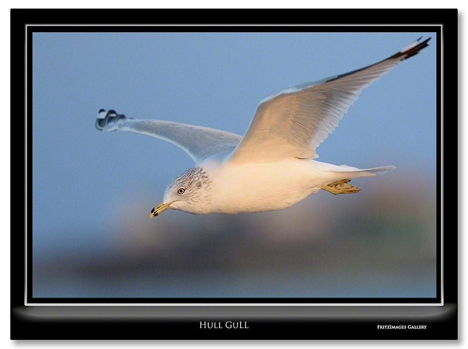 FritzImages | FritzImages October 2012 Gallery | image name = HULL GULL IO