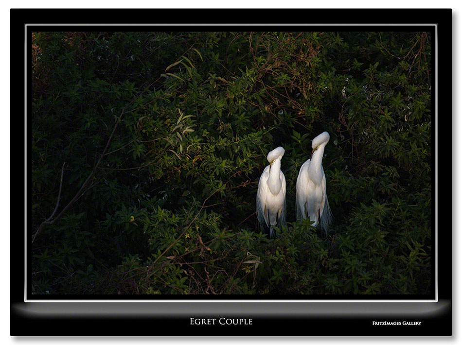 FritzImages | Desoto Spoonbill | image name = Egret Couple