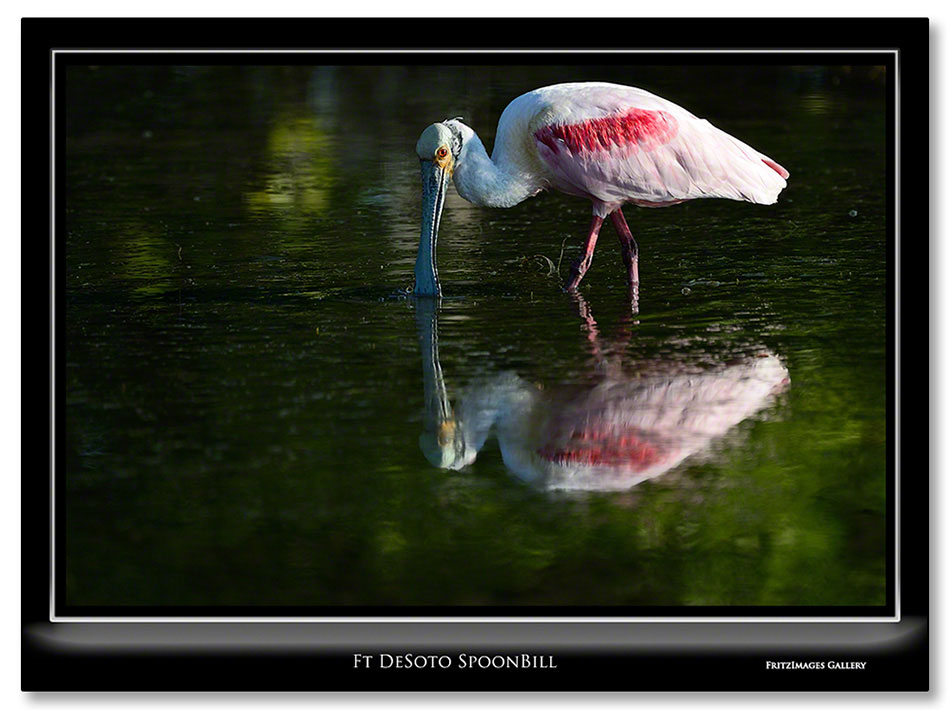 FritzImages | Wise Angel | image name = Ft Desoto SpoonBill IO
