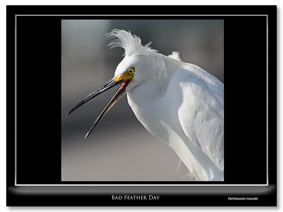 FritzImages | Desoto Spoonbill | image name = Hzntl Bad Feather Day IO