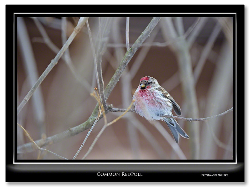 FritzImages | Burden Iron Works | image name = Common RedPoll IO