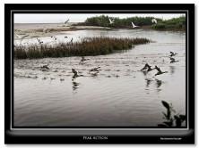 FritzImages | Desoto White Ibis | image name = FI 20131229 0199 FL 06 Peak Action copy 222x166