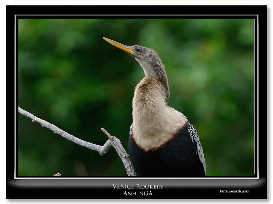 FritzImages | Holiday Berries | image name = FI 20131231 2116 FL 08 Venice Rookery Anhinga VtoH IO