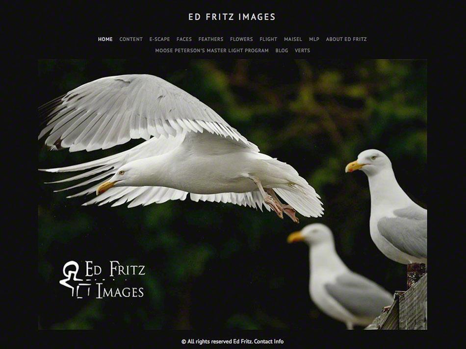 FritzImages | Desoto White Ibis | image name = Fi 121201 NY Ed Fritz Images