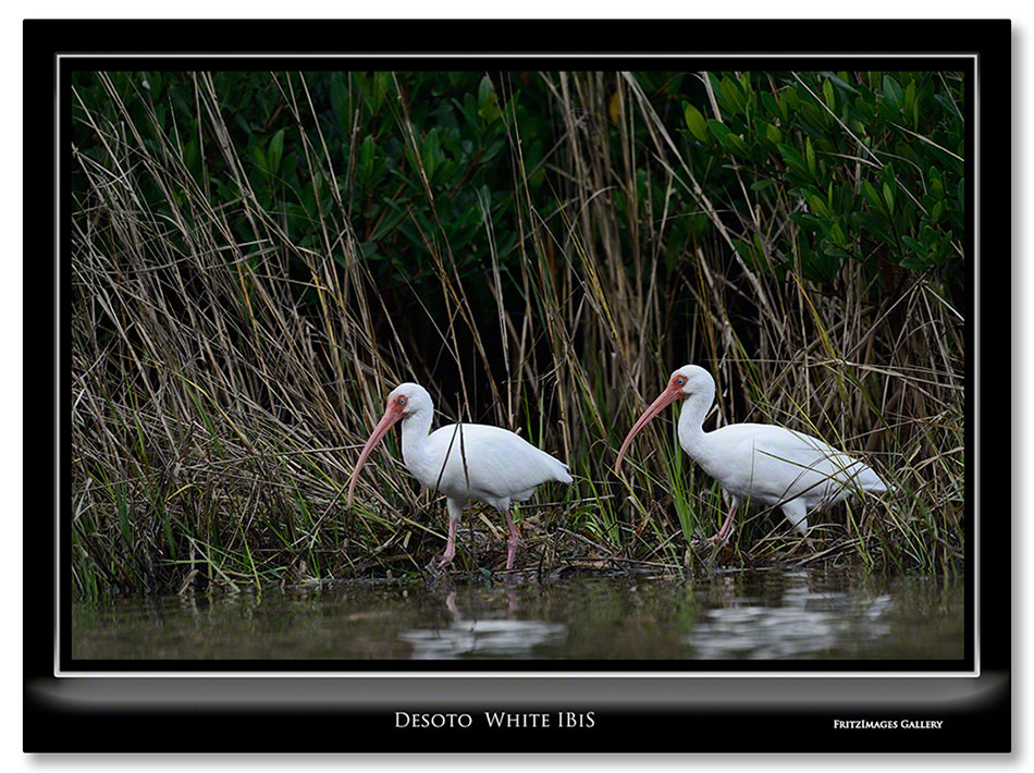 FritzImages | Holiday Berries | image name = Fi 20131228 0317 FL 05 Sat Desoto White IBIS IO