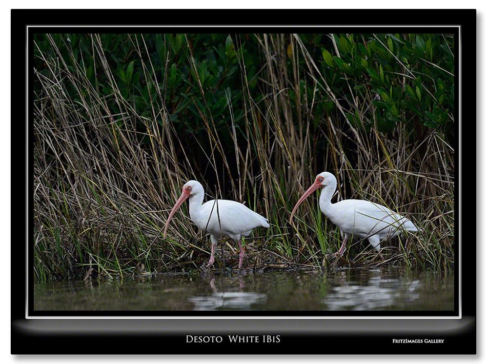FritzImages | Desoto White Ibis | image name = Fi 20131228 0317 FL 05 Sat Desoto White IBIS IO