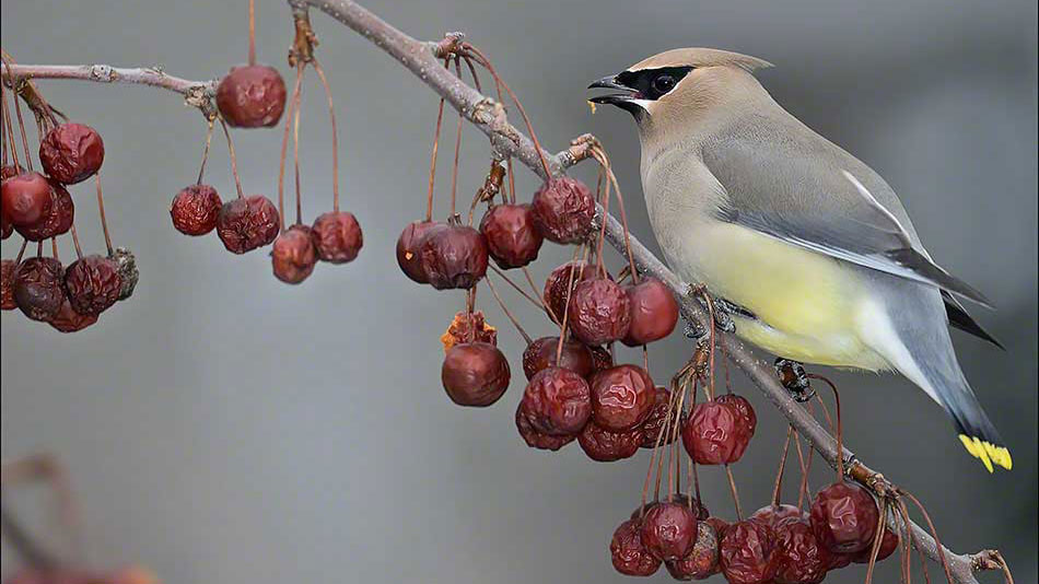 FritzImages | Nikon D4s Shipping Today | image name = FI 20140310 0363 Cedar Waxwing and Cherry Apples IOP