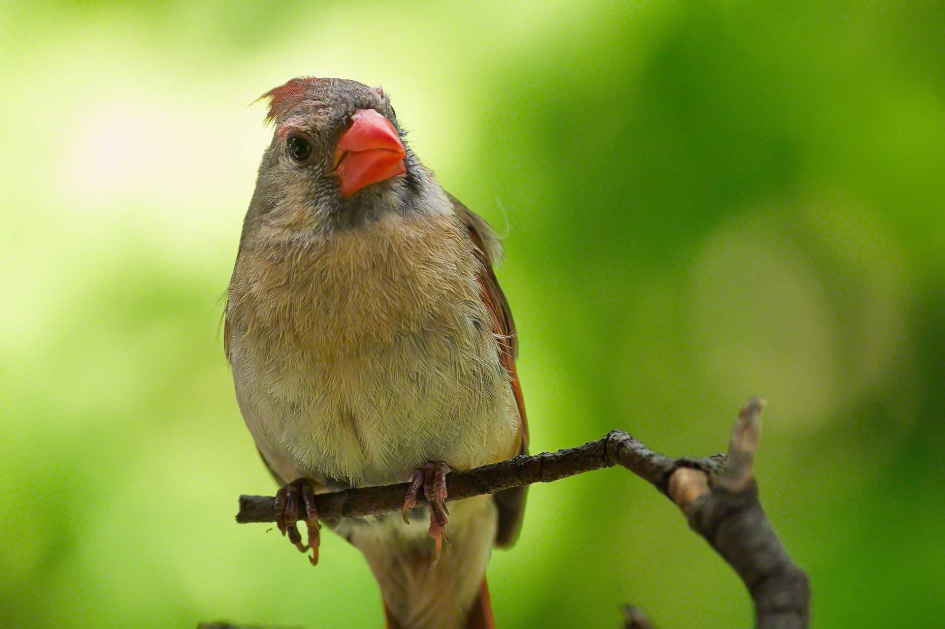 FritzImages | Travel and Outdoor Digital Images | image name = FI 20140731 961 NY Summer Bird Cardnal