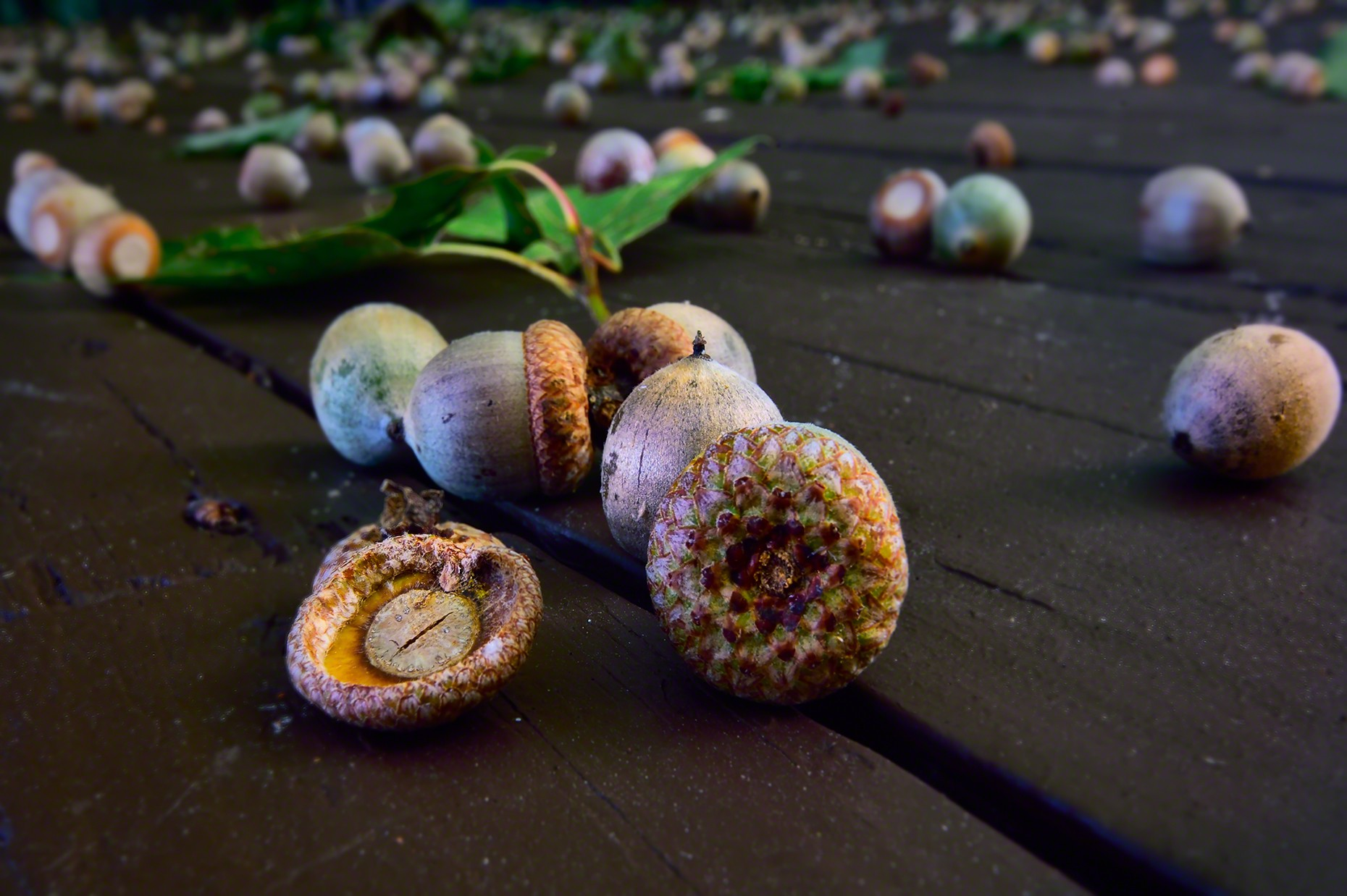 FritzImages | Travel and Outdoor Digital Images | image name = FI 20140830 198 NY Oak Acorns OPT