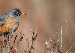 FritzImages | North Eastern Region Bird Images | image name = FI 20140228 0001 NY Winter Robin 260x185