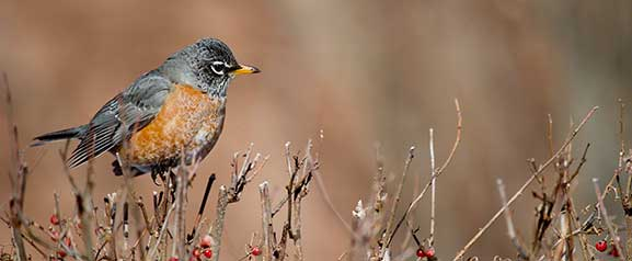 FritzImages | Wildlife | image name = FI 20140228 0001 NY Winter Robin
