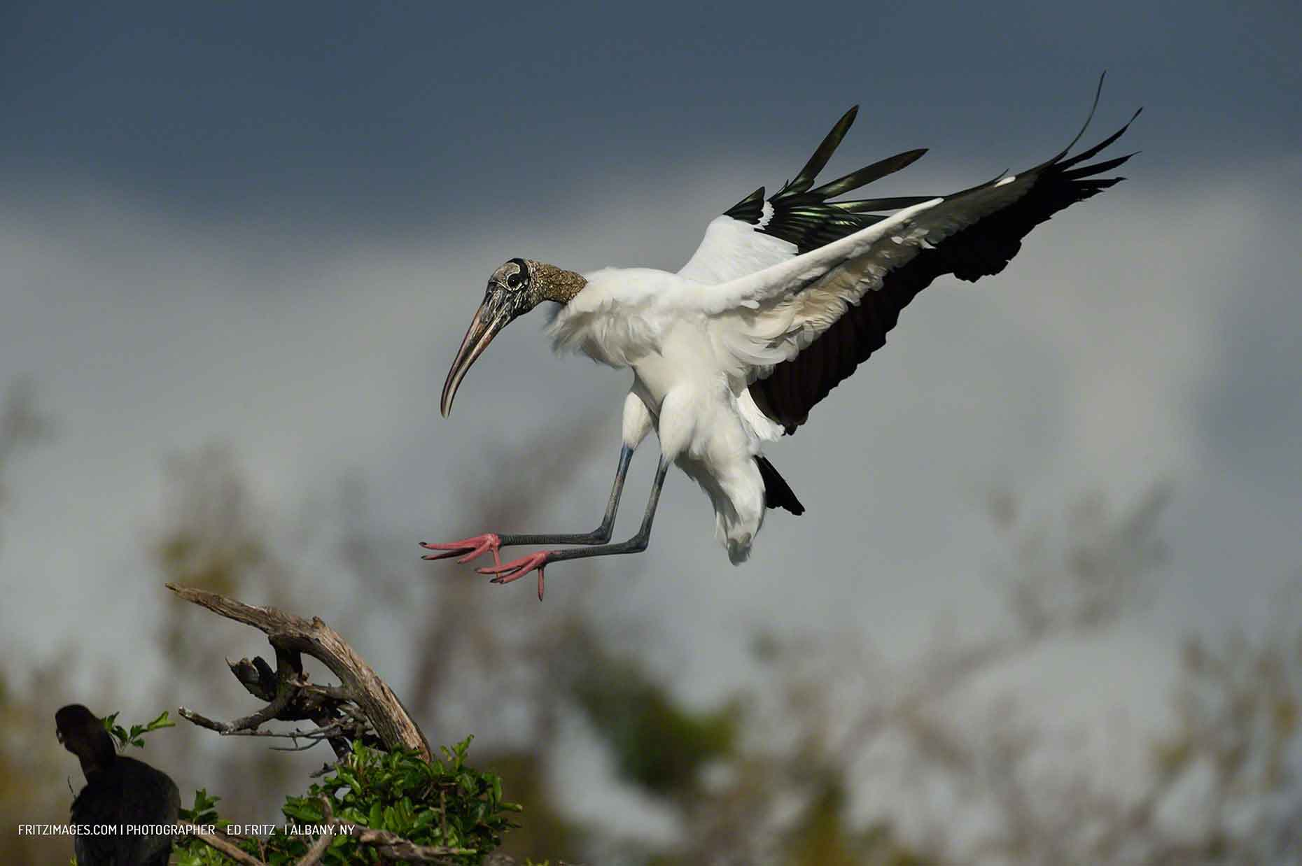 Tampa Wood Stork by photographer Ed Fritz
