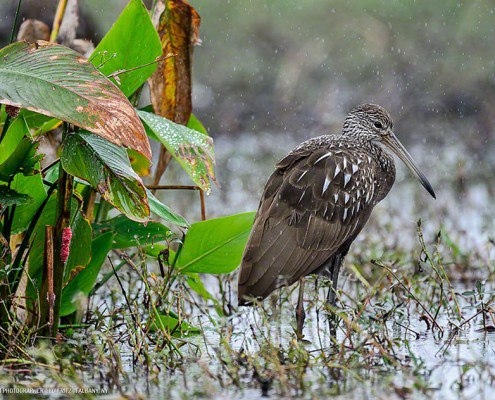 FritzImages | Fritzimages 2015 May Blog | image name = FICC 20140101 0733 Brown Limpkin iop 495x400