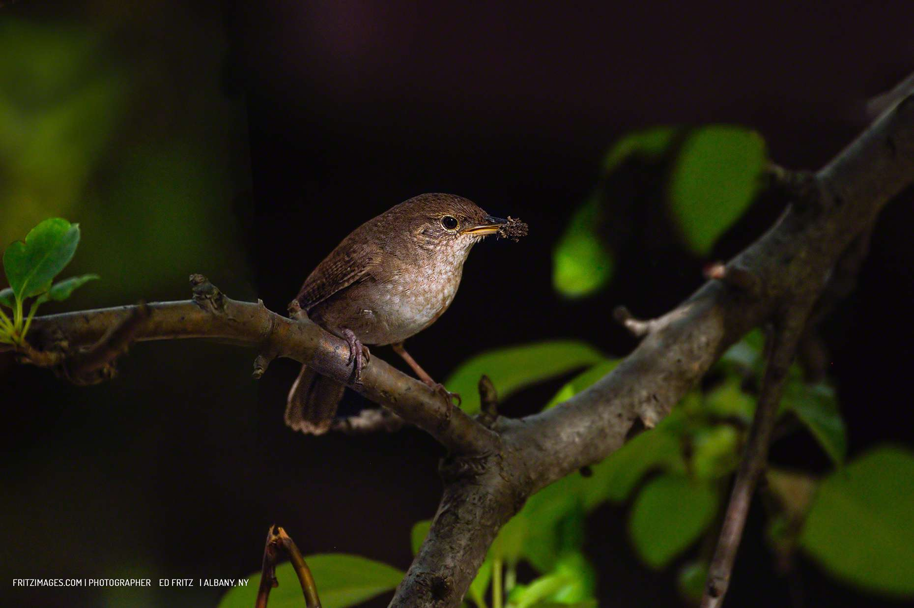 FritzImages | Travel and Outdoor Digital Images | image name = 4 CC 2015 Export FiFM 20150617 0134 NY House Wren 1860 60