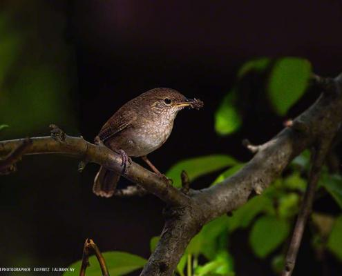 FritzImages | Spring Nighttime Camden Harbor | image name = FiCC 20150617 0134 NY House Wren 950 exportas 495x400